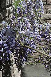 Cooke's Purple Chinese Wisteria (Wisteria sinensis 'Cooke's Purple') at Family Tree Nursery