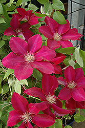Rebecca Clematis (Clematis 'Rebecca') at Family Tree Nursery