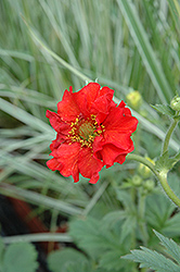 Red Dragon Avens (Geum 'Red Dragon') at Family Tree Nursery