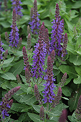 Sensation Deep Blue Sage (Salvia nemorosa 'Sensation Deep Blue') at Family Tree Nursery