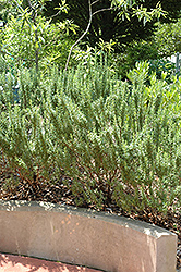 Spice Islands Rosemary (Rosmarinus officinalis 'Spice Islands') at Family Tree Nursery