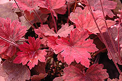 Sweet Tea Foamy Bells (Heucherella 'Sweet Tea') at Family Tree Nursery