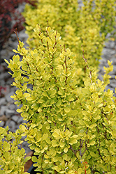 Sunjoy Gold Pillar® Japanese Barberry (Berberis thunbergii 'Maria') at Family Tree Nursery