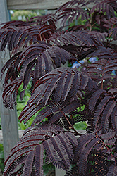 Summer Chocolate Mimosa (Albizia julibrissin 'Summer Chocolate') at Family Tree Nursery