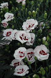 Scent First® Coconut Surprise Pinks (Dianthus 'WP05Yves') at Family Tree Nursery