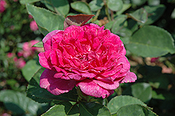 Sophy's Rose (Rosa 'Sophy's Rose') at Family Tree Nursery