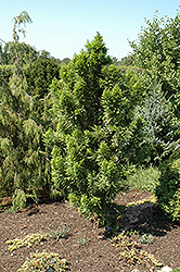 Peve Minaret Baldcypress (Taxodium distichum 'Peve Minaret') at Family Tree Nursery