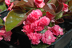 Doublet Rose Begonia (Begonia 'Doublet Rose') at Family Tree Nursery