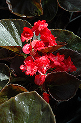Doublet Red Begonia (Begonia 'Doublet Red') at Family Tree Nursery