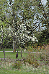 Toka Plum (Prunus 'Toka') at Family Tree Nursery