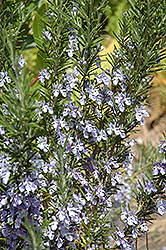 Rosemary (Rosmarinus officinalis) at Family Tree Nursery