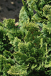 Well's Special Hinoki Falsecypress (Chamaecyparis obtusa 'Well's Special') at Family Tree Nursery