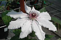 Snow Queen Clematis (Clematis 'Snow Queen') at Family Tree Nursery