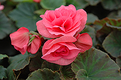 Solenia® Light Pink Begonia (Begonia 'Solenia Light Pink') at Family Tree Nursery