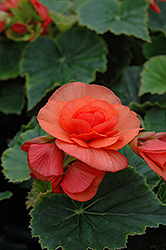 Solenia® Salmon Coral Begonia (Begonia 'Solenia Salmon Coral') at Family Tree Nursery