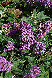 Lo And Behold® Purple Haze Dwarf Butterfly Bush (Buddleia 'Lo And Behold Purple Haze') at Family Tree Nursery