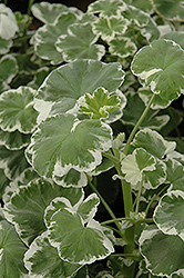 Wilhelm Langguth Geranium (Pelargonium 'Wilhelm Langguth') at Family Tree Nursery