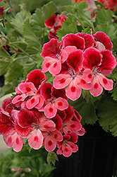 Candy Flowers Pink Eye Geranium (Pelargonium 'Candy Flowers Pink Eye') at Family Tree Nursery