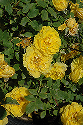 Persian Yellow Rose (Rosa 'Persian Yellow') at Family Tree Nursery
