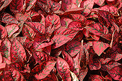 Splash Select Red Polka Dot Plant (Hypoestes phyllostachya 'Splash Select Red') at Family Tree Nursery