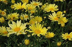 Butterfly Marguerite Daisy (Argyranthemum frutescens 'Butterfly') at Family Tree Nursery