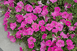 Easy Wave® Pink Petunia (Petunia 'Easy Wave Pink') at Family Tree Nursery