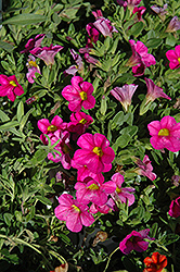 Superbells® Pink Calibrachoa (Calibrachoa 'Superbells Pink') at Family Tree Nursery