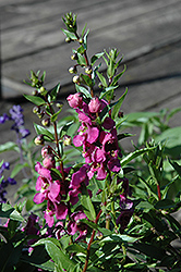 Archangel™ Raspberry Angelonia (Angelonia angustifolia 'Archangel Raspberry') at Family Tree Nursery