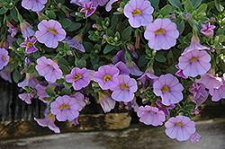 Superbells® Miss Lilac Calibrachoa (Calibrachoa 'Superbells Miss Lilac') at Family Tree Nursery