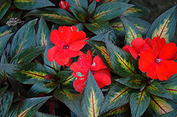 Strike Orange New Guinea Impatiens (Impatiens hawkeri 'Strike Orange') at Family Tree Nursery