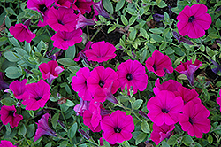 Wave Purple Classic Petunia (Petunia 'Wave Purple Classic') at Family Tree Nursery