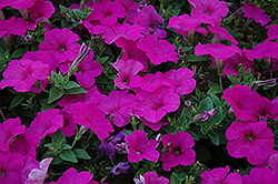 Easy Wave® Neon Rose Petunia (Petunia 'Easy Wave Neon Rose') at Family Tree Nursery