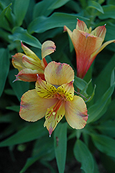 Ariane Alstroemeria (Alstroemeria 'Ariane') at Family Tree Nursery