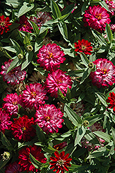 Zahara® Double Cherry Zinnia (Zinnia 'Zahara Double Cherry') at Family Tree Nursery
