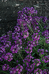 Clear Crystal Purple Shades Sweet Alyssum (Lobularia maritima 'Clear Crystal Purple Shades') at Family Tree Nursery