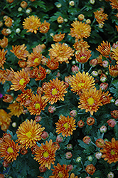 Sunset Orange Chrysanthemum (Chrysanthemum 'Sunset Orange') at Family Tree Nursery