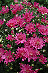 Jacqueline Pink Fusion Chrysanthemum (Chrysanthemum 'Jacqueline Pink Fusion') at Family Tree Nursery