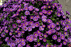 Magic Aster (Aster 'Magic') at Family Tree Nursery