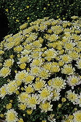 Jacqueline Pearl Chrysanthemum (Chrysanthemum 'Jacqueline Pearl') at Family Tree Nursery