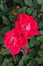 Red Knock Out® Rose (Rosa 'Red Knock Out') at Family Tree Nursery