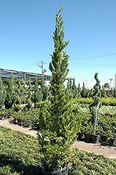 Hollywood Juniper (Juniperus chinensis 'Torulosa') at Family Tree Nursery