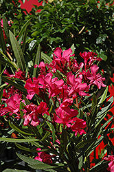 Calypso Oleander (Nerium oleander 'Calypso') at Family Tree Nursery