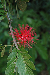Powderpuff (Calliandra haematocephala) at Family Tree Nursery