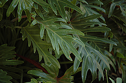 Xanadu Philodendron (Philodendron 'Winterbourn') at Family Tree Nursery