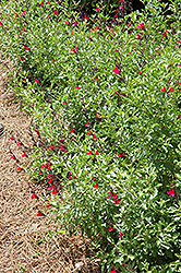 Furman's Red Texas Sage (Salvia greggii 'Furman's Red') at Family Tree Nursery