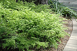 Southern Maidenhair Fern (Adiantum capillus-veneris) at Family Tree Nursery