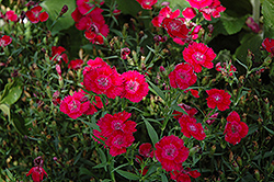 Ideal Select Red Pinks (Dianthus 'Ideal Select Red') at Family Tree Nursery