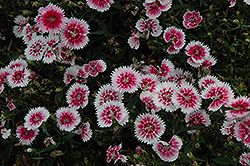 Ideal Select Whitefire Pinks (Dianthus 'Ideal Select Whitefire') at Family Tree Nursery