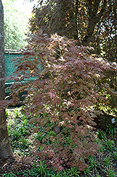 Mikazuki Japanese Maple (Acer palmatum 'Mikazuki') at Family Tree Nursery