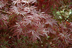 Aratama Japanese Maple (Acer palmatum 'Aratama') at Family Tree Nursery